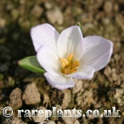 Colchicum raddeanum white