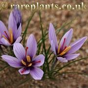 Crocus oreocreticus Florane