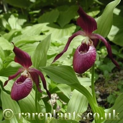Hoa gieo tứ tuyệt 3 - Page 10 Cypripedium-Ventricosum3-comp