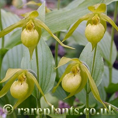 Hoa gieo tứ tuyệt 3 - Page 13 Cypripedium-henryi2-comp