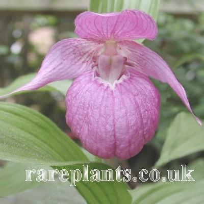 Hoa gieo tứ tuyệt 3 - Page 15 Cypripedium-speciosum-comp
