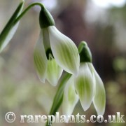 Galanthus Cowhouse Green