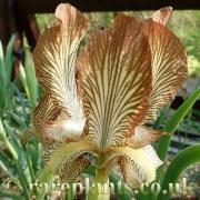 Iris meda
