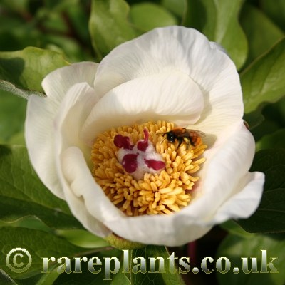 Paeonia flavescens