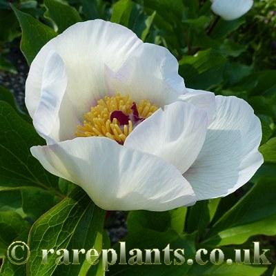 Paeonia flavescens