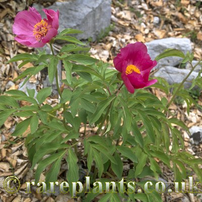 Paeonia officinalis banatica rareplants for Paeonia officinalis
