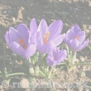 Crocus (Autumn) archive