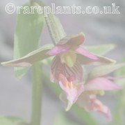Epipactis archive