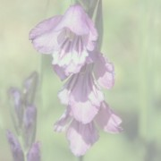 Gladiolus archive