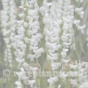 Spiranthes archive