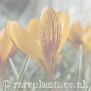 Crocus (Spring) archive