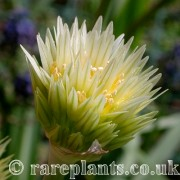 Allium darwasicum yellow form