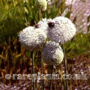 Allium guttatum sardoum