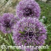 Allium jesdianum Per Wendelbo