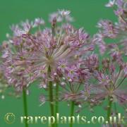 Allium khozratense