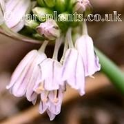 Allium kunthianum