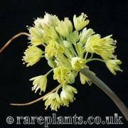 Allium luteolum