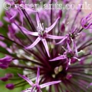 Allium pseudosarawschanicum