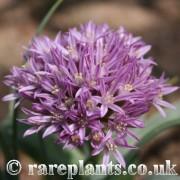 Allium shelkovnikovii