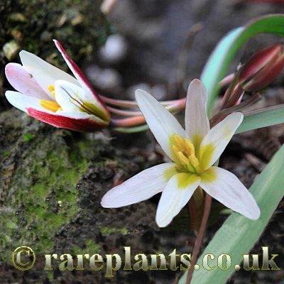 Amana anhuiensis