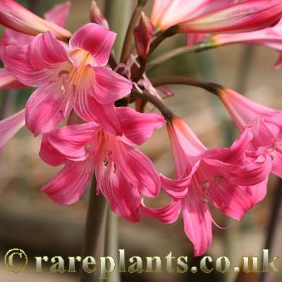 Prächtig Amaryllis belladonna Rich Flowered Strain – RarePlants @MY_07