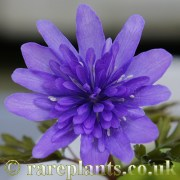 Anemone pseudoaltaica Double Blue