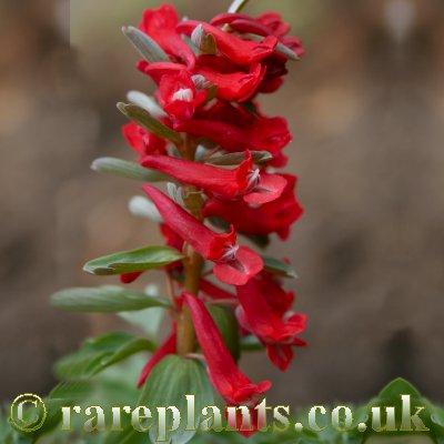 Corydalis solida Red Lory