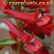 Corydalis solida Red Lory