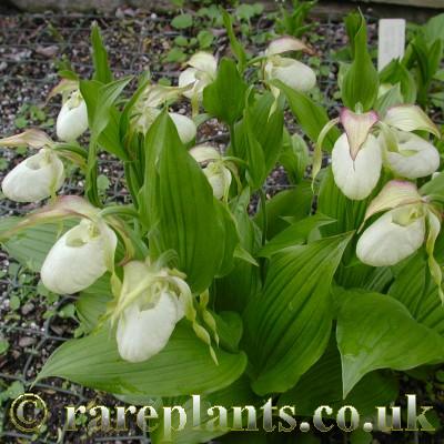 Hoa gieo tứ tuyệt 3 - Page 10 Cypripedium-Ventricosum-Pastel2-comp