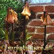 Cyrtanthus falcatus