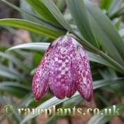 Rareplants Buy Rare Plants Bulbs Corms And Tubers At