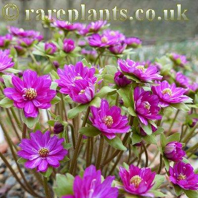 Hepatica japonica Yaegoromo