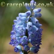 Hyacinthella