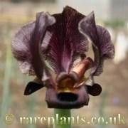Iris petrana