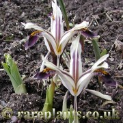 Iris nicolai Varsob