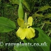 Pyrgophyllum