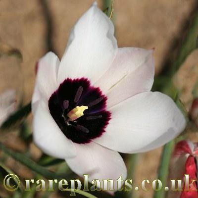 Tulipa aitchisonii clusianoides
