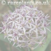 Allium archive