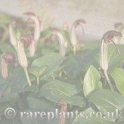 Arisarum archive