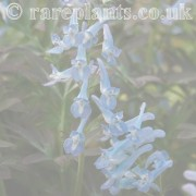 Corydalis archive