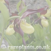 Cypripedium archive