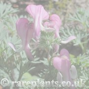 Dicentra archive