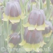 Fritillaria archive