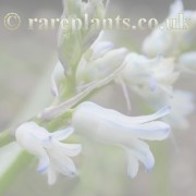 Hyacinthus archive