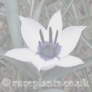 Tulipa archive