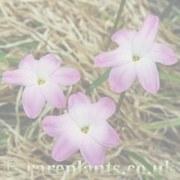 Zephyranthes La Bufa Rose group archive